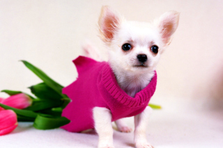 Great Chihuahua Background for Android, iPhone and iPad