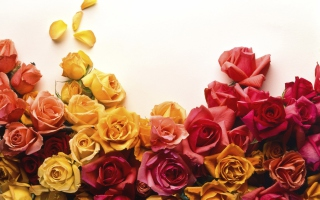 Colorful Roses Picture for Android, iPhone and iPad