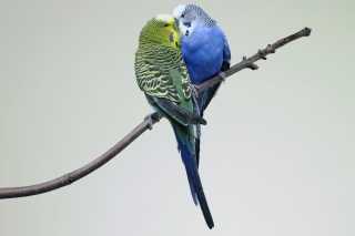 Free Kissing Parrots Picture for Android, iPhone and iPad