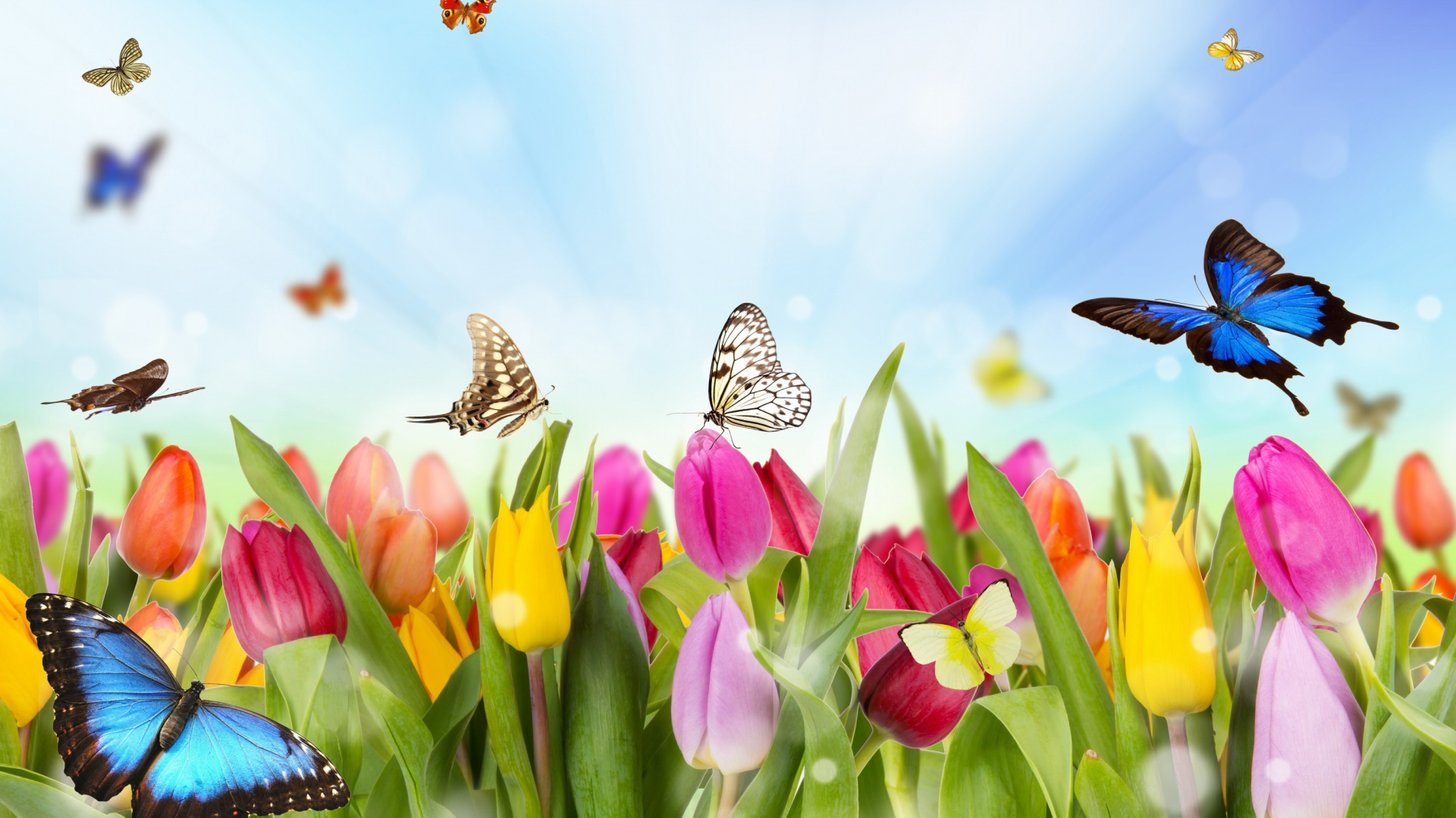 Screenshot №1 pro téma Butterflies and Tulip Field 1920x1080