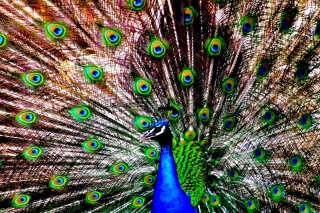 Peacock Wallpaper for Android, iPhone and iPad