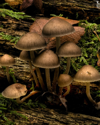 Free Mushrooms Picture for Nokia Asha 308