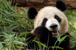 Free Panda Bear Picture for Android, iPhone and iPad