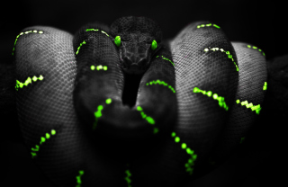 Black Mamba Snake Picture for Android, iPhone and iPad