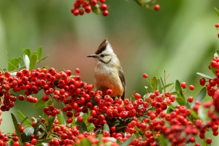 Bird On Branch With Red Berries sfondi gratuiti per cellulari Android, iPhone, iPad e desktop