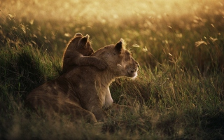African Lion Picture for Android, iPhone and iPad