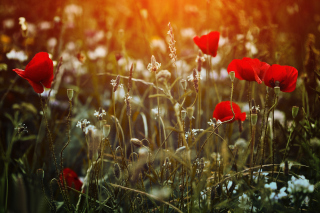 Poppy Field Background for Android, iPhone and iPad