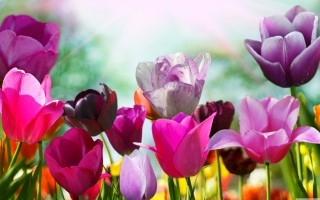 Colorful Tulips Wallpaper for Android, iPhone and iPad