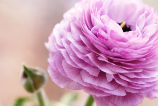 Pink Ranunculus Background for Android, iPhone and iPad