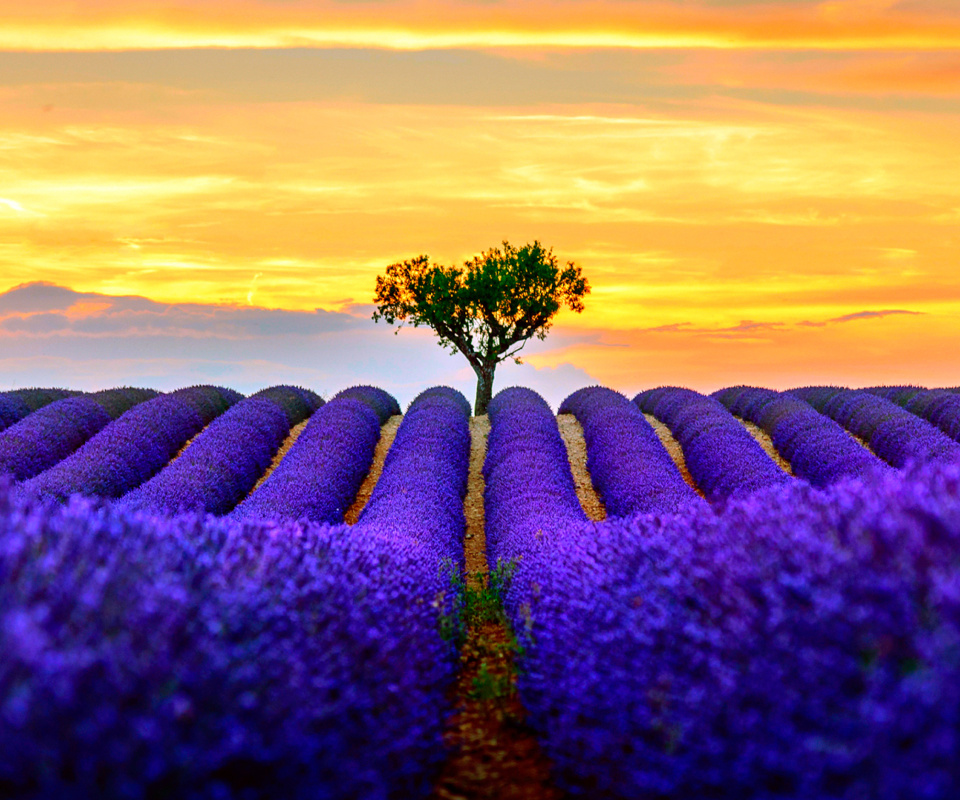 Best Lavender Fields Provence wallpaper 960x800