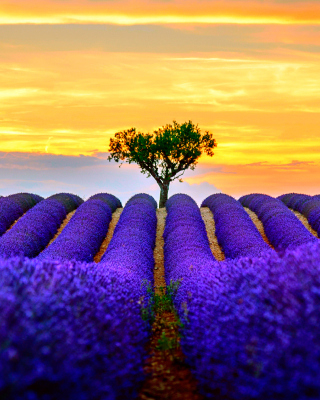 Best Lavender Fields Provence papel de parede para celular para iPhone 5S