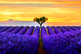 Best Lavender Fields Provence Background for 1366x768