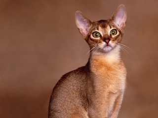 Free Oriental Shorthair Cat Picture for Android, iPhone and iPad