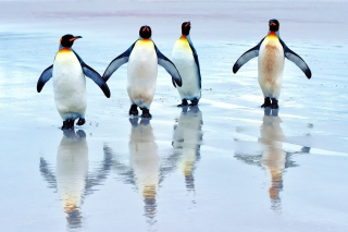 King penguins Picture for Android, iPhone and iPad