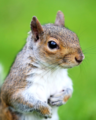 Squirrel sfondi gratuiti per iPhone 6