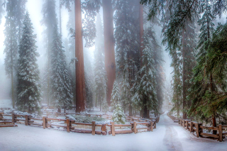 Kostenloses Sequoia in Winter Wallpaper für Android, iPhone und iPad