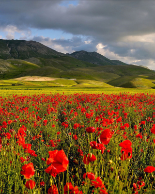 Poppy Field Background for 240x320