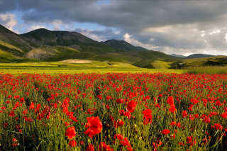Poppy Field Background for Samsung Galaxy Ace 3