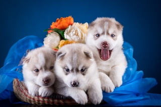 Free Husky Puppies Picture for 1080x960
