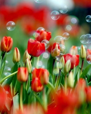 Red Tulips And Bubbles - Obrázkek zdarma pro Nokia C1-00