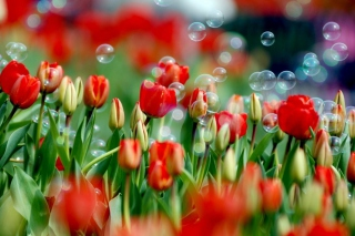 Red Tulips And Bubbles - Obrázkek zdarma pro Widescreen Desktop PC 1600x900