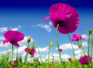 Free Poppy Field Picture for 1080x960