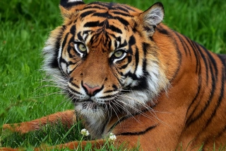 South China Tiger Wallpaper for Android, iPhone and iPad