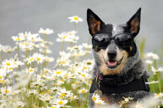 Dog, Sunglasses And Daisies Picture for Android, iPhone and iPad