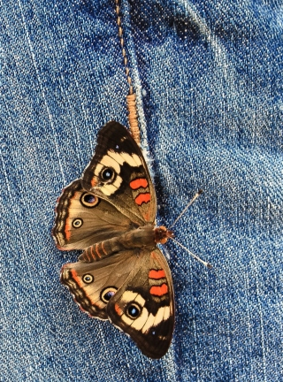 Butterfly Likes Jeans Wallpaper for HTC Titan