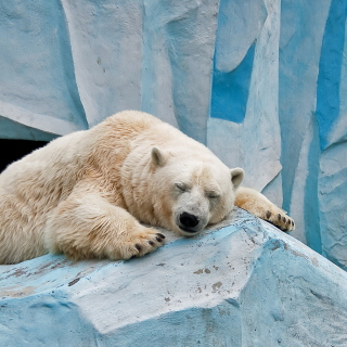 Sleeping Polar Bear in Columbus Zoo - Fondos de pantalla gratis para 1024x1024