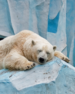 Sleeping Polar Bear in Columbus Zoo Background for Nokia Asha 311