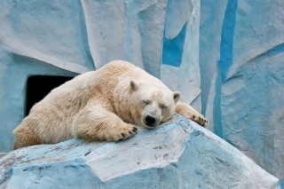 Kostenloses Sleeping Polar Bear in Columbus Zoo Wallpaper für 1366x768