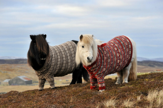 Shetland Ponies Wallpaper for Android, iPhone and iPad