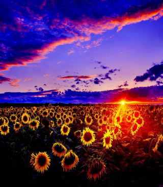 Sunflowers Wallpaper for Nokia C1-01