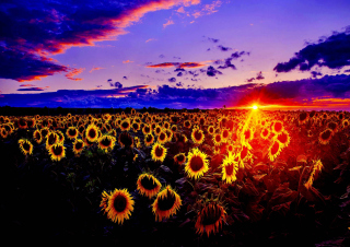 Sunflowers Picture for Android, iPhone and iPad