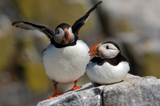 Cute Puffins Background for Android, iPhone and iPad