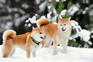 Akita Inu Dogs in Snow Background for Android, iPhone and iPad