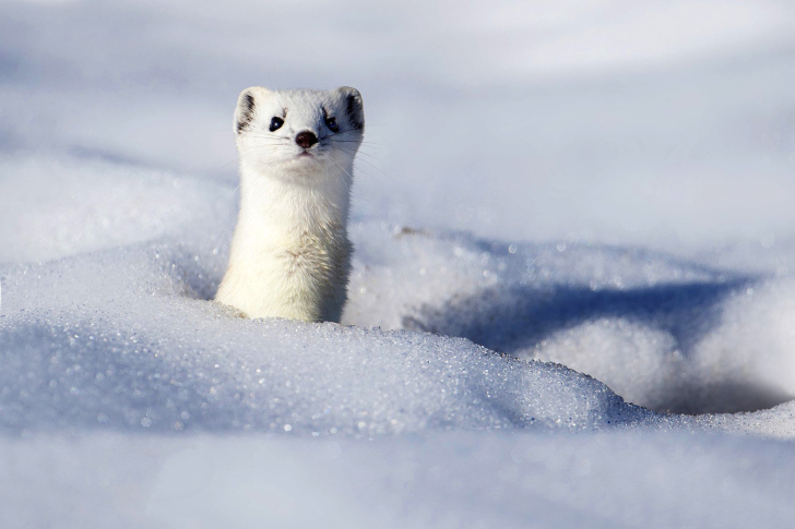 Stoat wallpaper