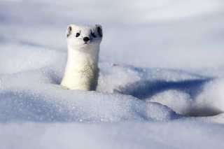 Stoat Background for Android, iPhone and iPad