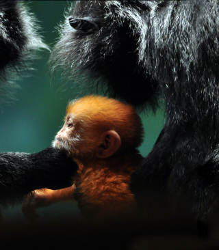 Baby Monkey With Parents Picture for 240x320