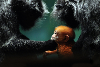 Baby Monkey With Parents Wallpaper for HTC Desire HD