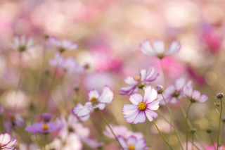 Field Of White And Pink Petals Wallpaper for Android, iPhone and iPad