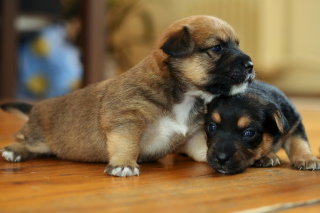Two Cute Puppies - Fondos de pantalla gratis