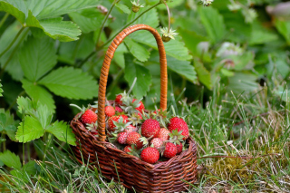 Kostenloses Virginia Strawberry Basket Wallpaper für Android 320x480