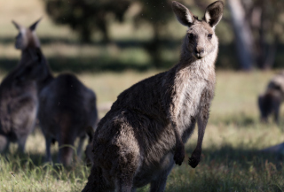 Kangaroo Wallpaper for Android, iPhone and iPad
