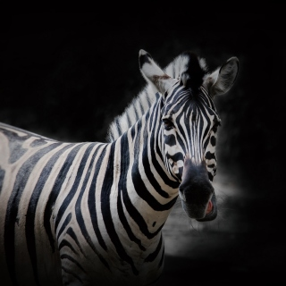Zebra Black Background Wallpaper for HP TouchPad