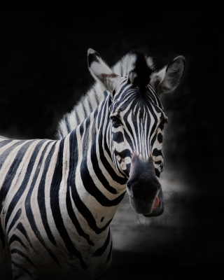 Free Zebra Black Background Picture for Nokia 220 Dual SIM