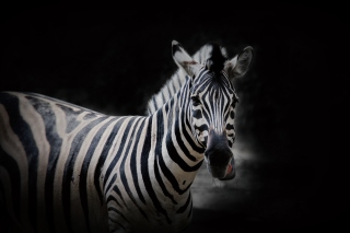 Zebra Black Background - Obrázkek zdarma
