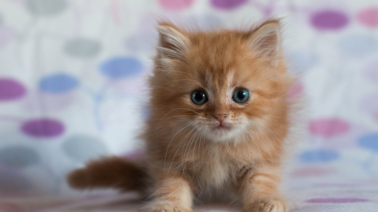 Das Pretty Kitten Wallpaper 1280x720