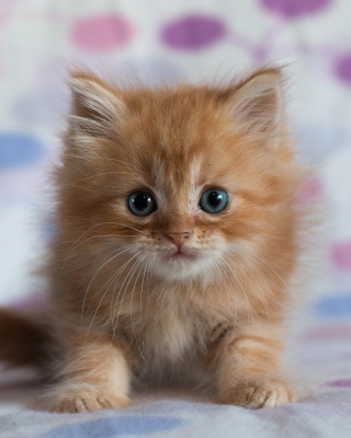 Pretty Kitten Background for Nokia Asha 306
